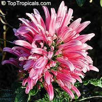 Justicia carnea, Jacobinia carnea, Brazilian Plume, Flamingo FlowerClick to see full-size image