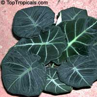 Alocasia Black Velvet, Dwarf Alocasia  Click to see full-size image