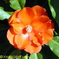 Perescia bleo - Orange Rose Cactus  Click to see full-size image