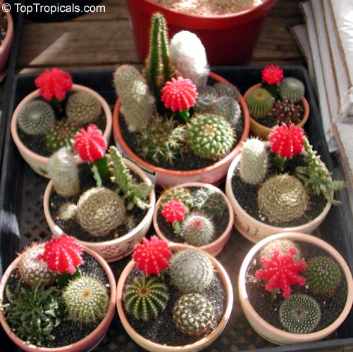 Cacti And Succulents Picture Gallery Page 9