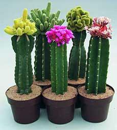 Cactus inside an office gardening forums - Cactus da interno ...