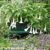 Brugmansia versicolor, Brugmansia versicolor hybrids, Angel's Tears  Click to see full-size image