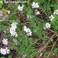 Lantana montevidensis, Lantana sellowiana, Trailing lantana  Click to see full-size image
