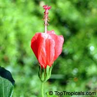 Malvaviscus arboreus drummondii - Dwarf mallowClick to see full-size image