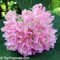 Dombeya x wallichii - Tropical Hydrangea
