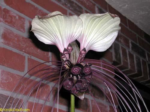 Tacca nivea tacca integrifolia bat head lily bat flower devil tacca nivea tacca integrifolia bat head lily bat flower devil flower mightylinksfo
