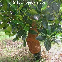 Artocarpus heterophyllus - Jackfruit Borneo Red  Click to see full-size image