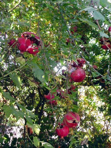 Punica Granatum Pomegranate Granada Grenade