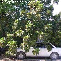 Pouteria sapota, Mamey, Mamey SapoteClick to see full-size image