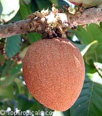 Pouteria sapota - Mamey Sapote Cepeda Especial, grafted Click to see full-size image