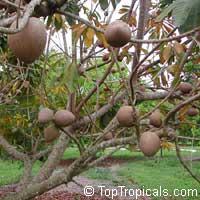 Pouteria sapota - Mamey Sapote Viejo, graftedClick to see full-size image