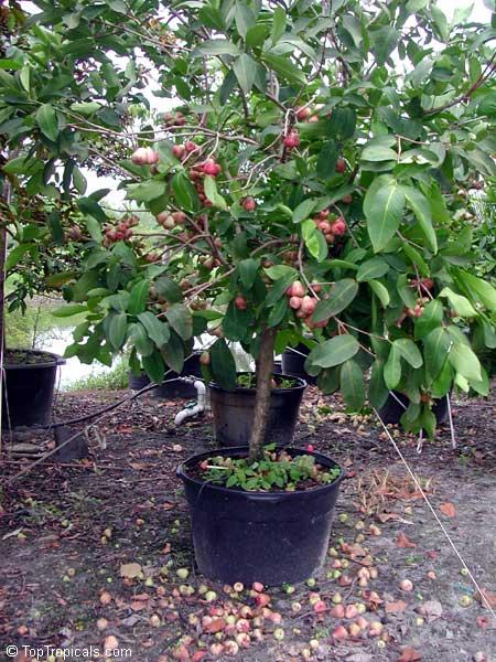 Syzygium Samarangense Syzygium Javanicum Eugenia