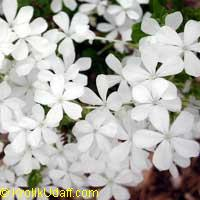 Plumbago auriculata 'Alba', Cape Plumbago, Cape Leadwort