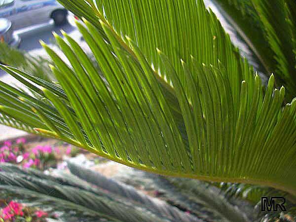 Научное название cycas revoluta