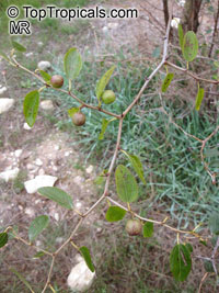 Ziziphus spina-christi, Arabian jujube, Syrian Christ thorn  Click to see full-size image