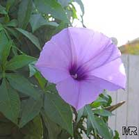 Ipomoea cairica, Cairo Morning glory, Railroad-creeper, Mile-a-minute  Click to see full-size image