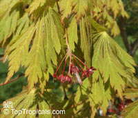 Acer sp., Red Maple, Soft Maple  Click to see full-size image