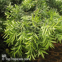 Afrocarpus gracilior, Podocarpus gracilior, African Fern Pine  Click to see full-size image