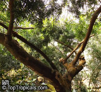 Afrocarpus gracilior, Podocarpus gracilior, African Fern Pine  Click to see full-size image