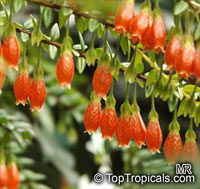 Agapetes serpens, Vaccinium serpens  Click to see full-size image
