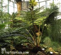 Angiopteris sp., Elephant Fern  Click to see full-size image
