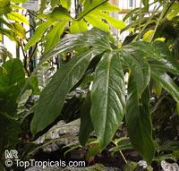 Anthurium longissimum, AnthuriumClick to see full-size image