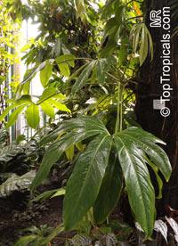 Anthurium longissimum, Anthurium  Click to see full-size image
