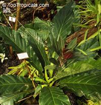 Anthurium schlechtendalii, AnthuriumClick to see full-size image