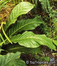 Anthurium schlechtendalii, Anthurium  Click to see full-size image