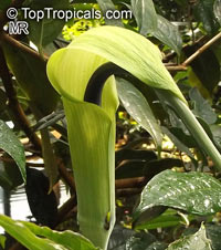 Arisaema tortuosum, Arum tortuosum, Whipcord Cobra Lily, Jack in the pulpit  Click to see full-size image