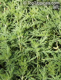 Artemisia abrotanum, Southernwood