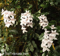 Asystasia bella, Mackaya bella, Forest bell bush, River bell  Click to see full-size image