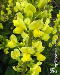 Baptisia cinerea, Grayhairy Wild IndigoClick to see full-size image