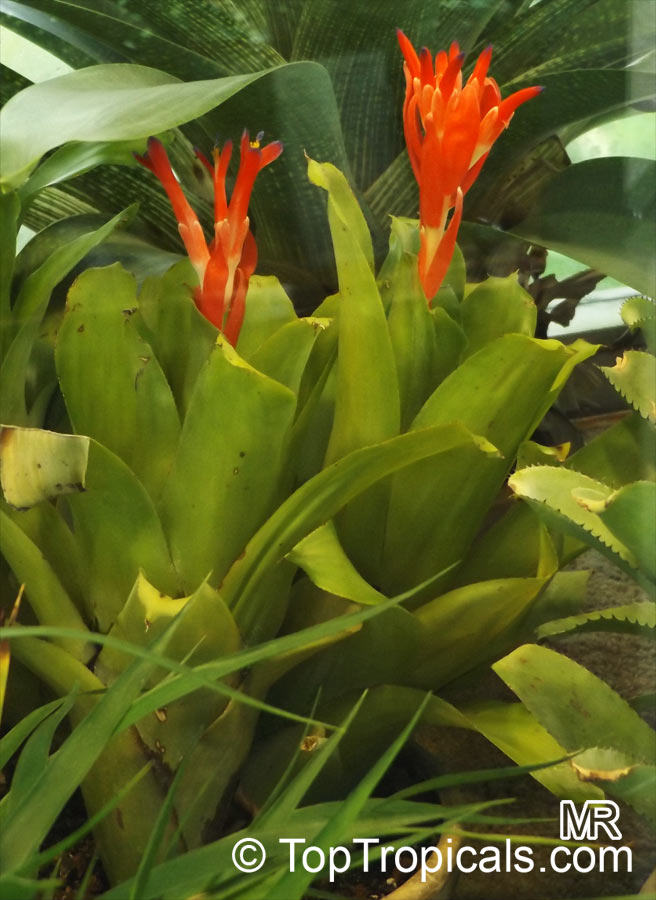 Billbergia Sp Bromeliad Queen Of Tears Friendship Plant Toptropicals Com