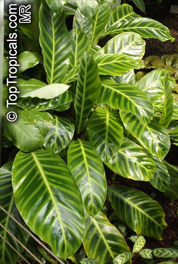 Calathea zebrina calathea Calathea plants for sale