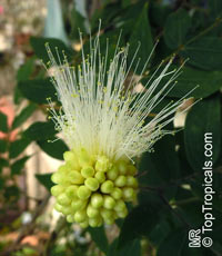 Calliandra haematocephala, Calliandra inaequilatera, Rose cascade, Blood Red Tassel Flower