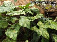 Cercestis mirabilis, Rhektophyllum mirabile, CercestisClick to see full-size image