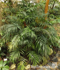 Chamaedorea sp., Chamaedorea  Click to see full-size image