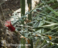 Cryptocereus anthonyanus, Selenicereus anthonyanus, Anthony's Rick-Rack, Zig-Zag Cactus, Fishbone Orchid CactusClick to see full-size image