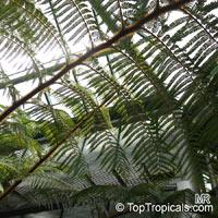 Cyathea princeps, Cyathea bourgaei, Sphaeropteris horrida, Tree Fern, Palma de MontanaClick to see full-size image