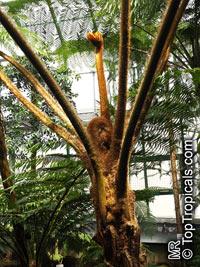 Cyathea princeps, Cyathea bourgaei, Sphaeropteris horrida, Tree Fern, Palma de Montana  Click to see full-size image