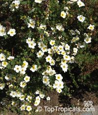 Dasiphora fruticosa, Potentilla fruticosa, Shrubby Cinquefoil  Click to see full-size image