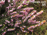 Erica x darleyensis, Darley Heath, Winter Heath  Click to see full-size image