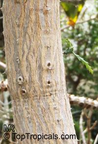 Euphorbia ramipressa, Tree Euphorbia  Click to see full-size image