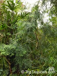 Fokienia hodginsii, Fujian Cypress  Click to see full-size image