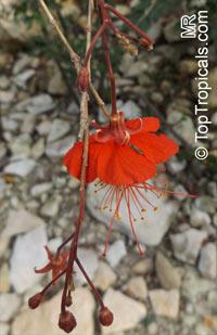 Hibiscus grandidieri, Red Chinese LanternClick to see full-size image