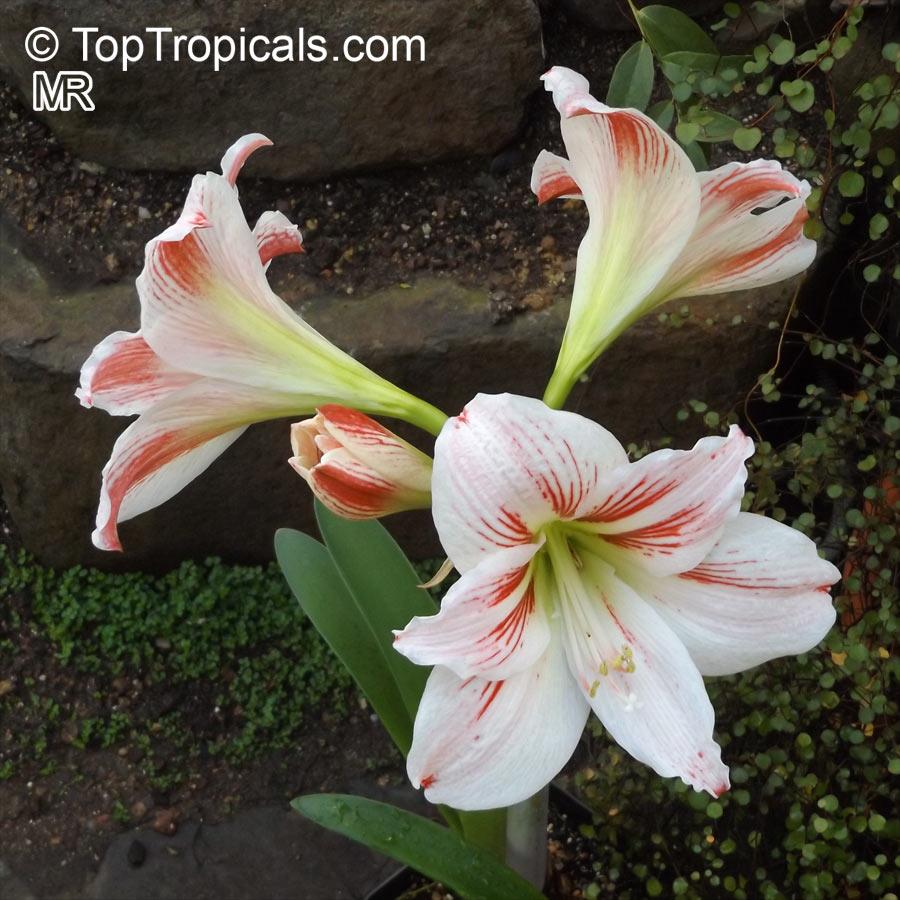 Hippeastrum Sp Amaryllis Toptropicals Com