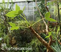 Jatropha mahafalensis, Jatropha  Click to see full-size image