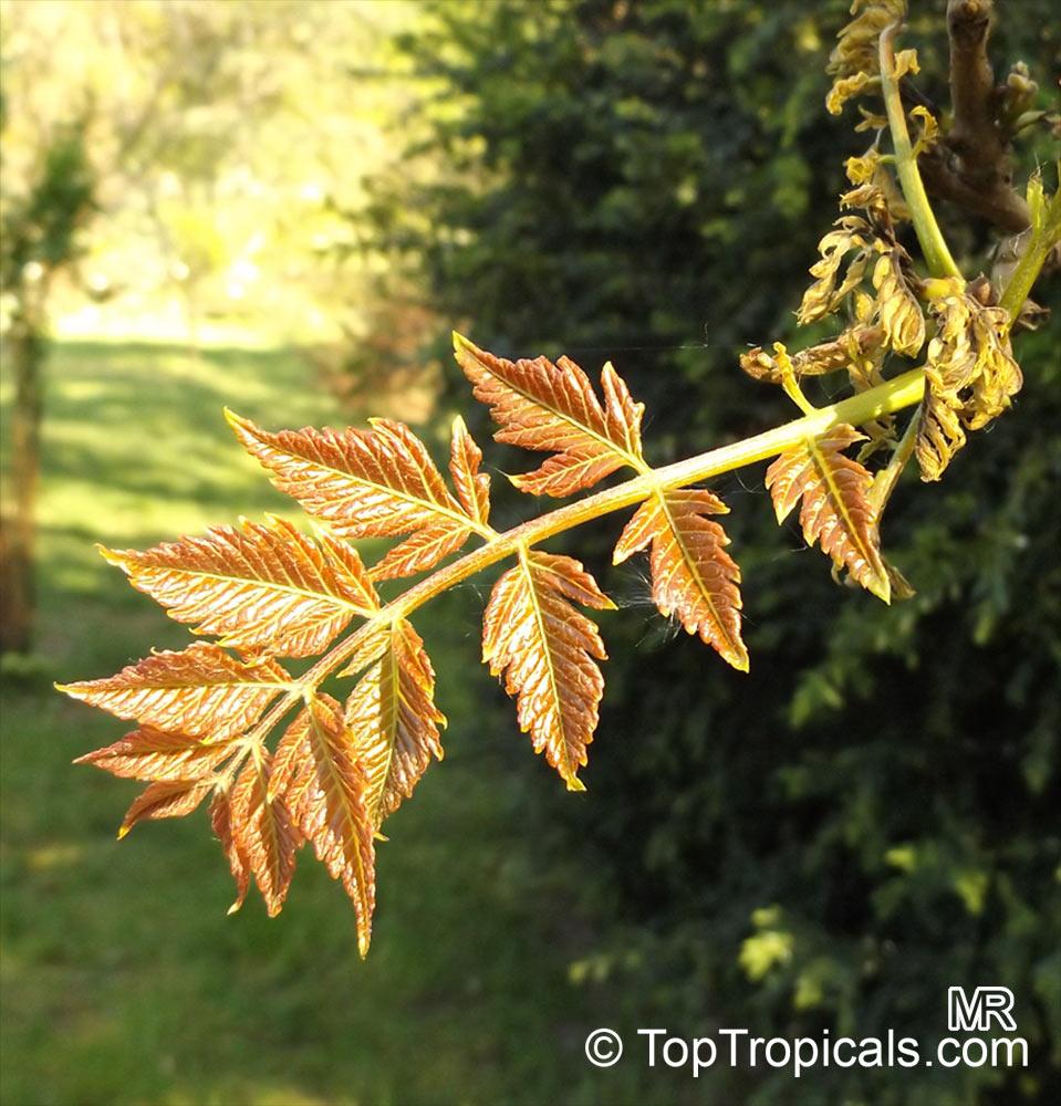 Koelreuteria Paniculata Golden Rain Tree Varnish Tree Chinese Flame Toptropicals Com