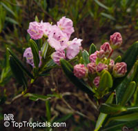 Kalmia latifolia, Calico Bush, Mountain Laurel, Poison Ivy, Spoonwood  Click to see full-size image